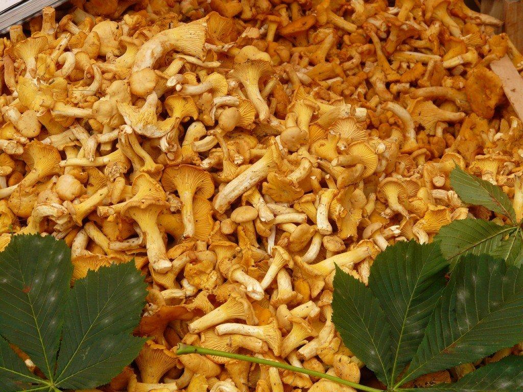 finferli funghi del trentino ti amo trentino