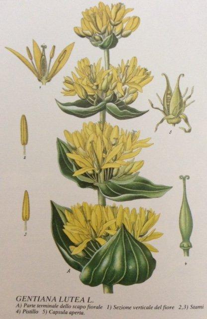 specifiche tecniche della pianta Genziana, come è fatta la pianta