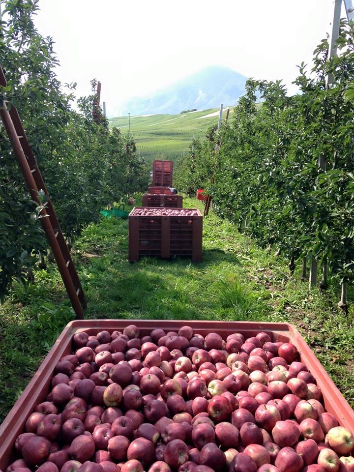 tra i melati durante la raccolta