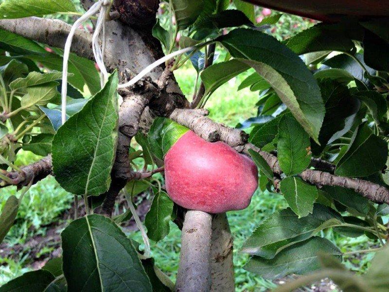 una mela pronta da cogliere sull'albero