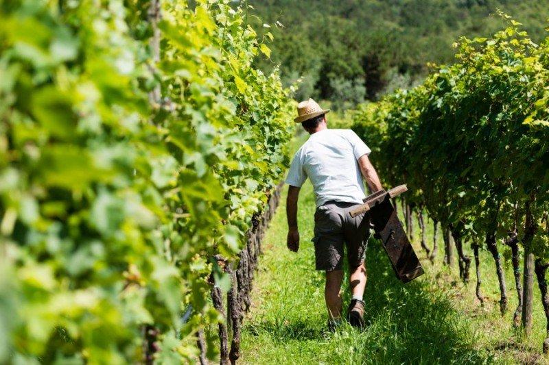 vigne della Famiglia Pisoni in Trentino