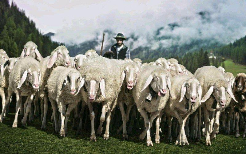 pecore-col-pastore-al-pascolo