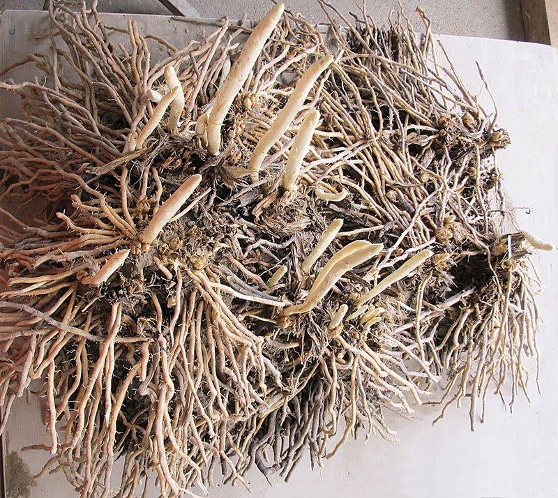 asparago bianco di zambana