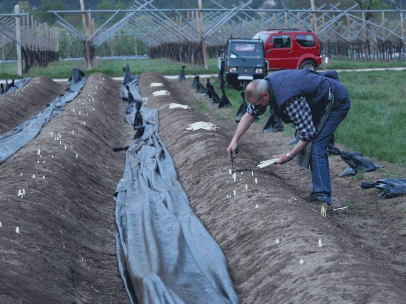 raccolta dell'asparago bianco di zambana