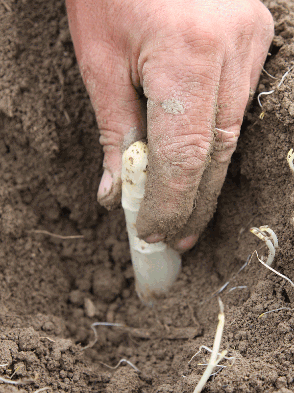 raccolta asparago bianco di zambana