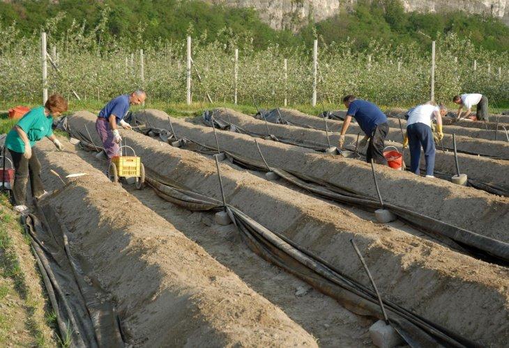 coltivazione asparago di zambana ti amo trentino