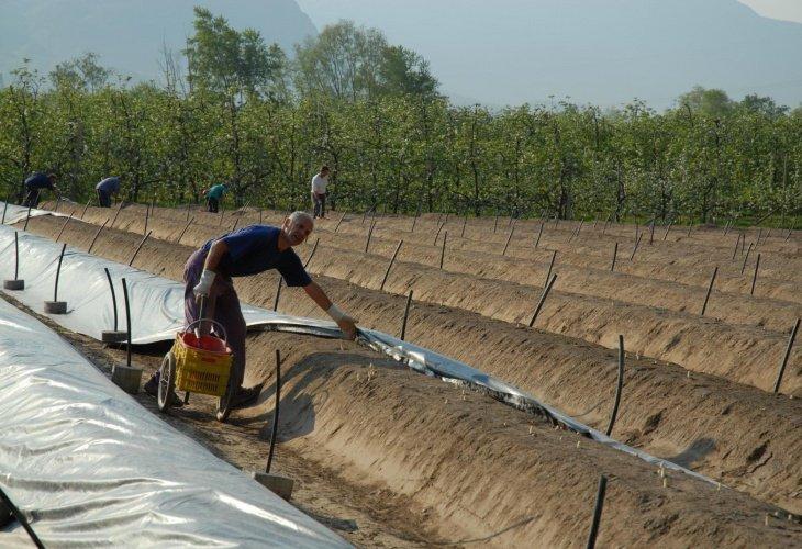 coltivazione asparagi di zambana ti amo trentino