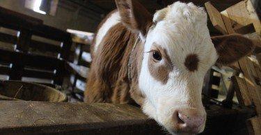 Un vitellino nella stalla aspetta il rientro della sua mamma dal pascolo