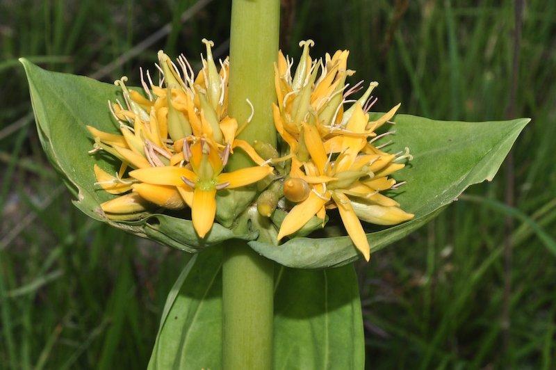 La Genziana Maggiore, o Lutea L., gialla, è quella la cui radice viene utilizzata per fare la Grappa di Genziana